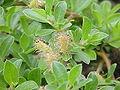 Salix simulatrix0.jpg