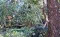 Salix tetrasperma 08.JPG