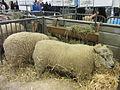 Salon de l'agriculture 2014 - Moutons Avranchin (2).JPG
