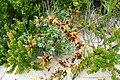Salvia africana-lutea L..JPG