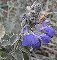 Salviacedrosensis.jpg