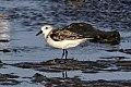 Sanderling (Calidris alba) (8082809640).jpg