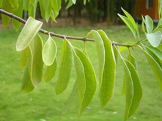 Santalum album - Image: Santalum Album Leaf