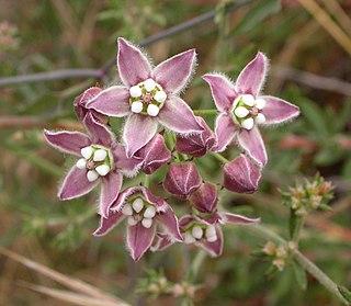 <i>Funastrum</i> genus of plants