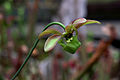 Sarracenia-minor Blüte 0142 a.jpg