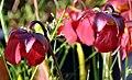 Sarracenia 'Love Bug' (5837730227).jpg