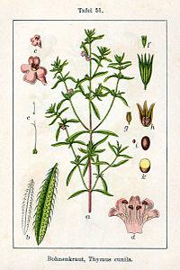 Satureja hortensis Sturm51.jpg