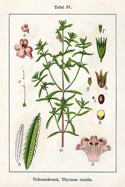 Datei:Satureja hortensis Sturm51.jpg