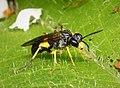 Sawfly Tenthredo temula (43762400011).jpg