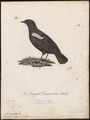 Saxicola nigra - 1796-1808 - Print - Iconographia Zoologica - Special Collections University of Amsterdam - UBA01 IZ16200348.tif