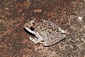 Saxicoline Tree frog (Litoria coplandi) (8691393997).jpg