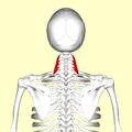 Scalenus medius muscle06.png