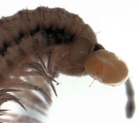 parasitengonan mite larva attached to head of Schedotrigona sp.