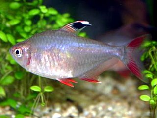 Characiformes order of fishes