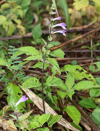 Scutellaria - Scutellaria pekinensis