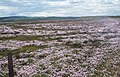Sea Thrift on the Mud Flats - geograph.org.uk - 309525.jpg
