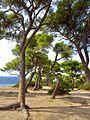Sea and pines.jpg