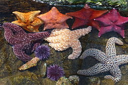 Sea stars and sea urchins in the tide pool touch tank at the Cabrillo Marine Aquarium