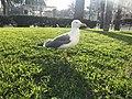Seagull 11.jpg