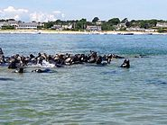 Seals in Chatham, MA harbor