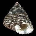 Seashell Clanculus escondidus.jpg