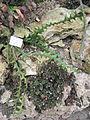 Selenicereus anthonyanus - Palmengarten Frankfurt - DSC01744.JPG
