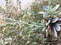 Senecio sempervivu At Cairo by Hatem Moushir 2.jpg