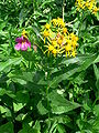 Senecio triangularis and Mimulus lewisii p1080924.jpg