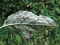 Septoria cornicola a1 (1).jpg