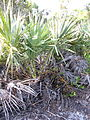 Serenoa repens 005 by Scott Zona.jpg