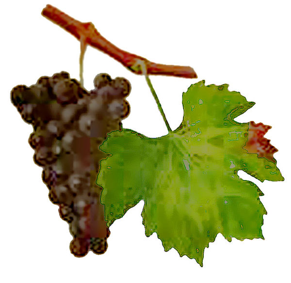 history varieties and production of wine What are the different types of wines however, for the novice wine drinker, this makes it difficult to tell which wine grape(s) are used in the production of that wine as you begin to enjoy european wines the history of wine.