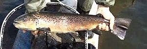 Sevan trout - Image: Sevan trout Севанская форель