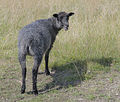 Sheep, Gotland (6210474660).jpg