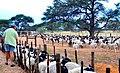 Sheep farming in Namibia (2017).jpg