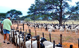 Sheep farming - Sheep farming in Namibia (2017)