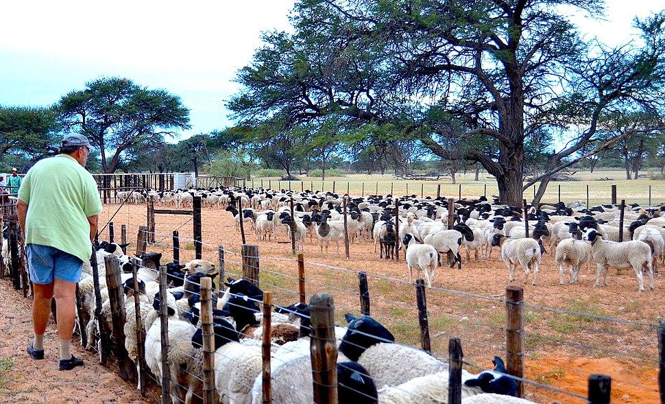 Sheep farming in Namibia (2017)