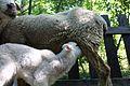 Sheep in Braga Portugal (2).jpg