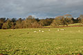 Sheep in a pasture near Braunston Fields Farm - geograph.org.uk - 1639656.jpg