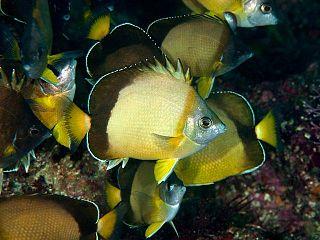 <i>Chaetodon nippon</i> species of fish