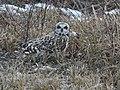 Short-eared Owl - Flickr - Wildreturn.jpg