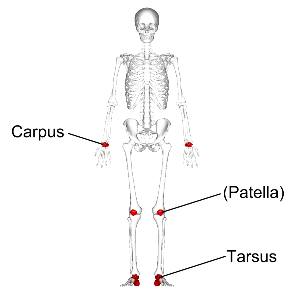 File:Short bones - anterior view - with legend.png - Wikimedia Commons