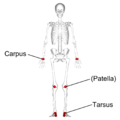 Short bones - anterior view - with legend.png