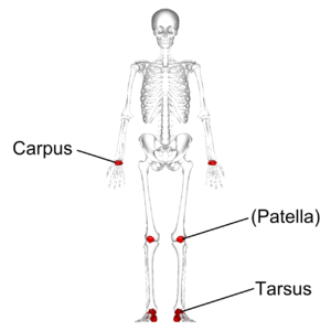 Short bone - Short bones in human skeleton. (shown in red). Some sources classify patella as short bone and some don't.