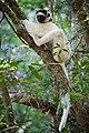 Sifaka-de-Verreaux-Propithecus verreauxi.jpg