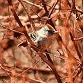 Silvery-cheeked Antshrike (Sakesphorus cristatus) (fm).jpg
