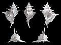 Siratus alabaster 01.jpg