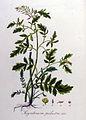 Sisymbrium palustre — Flora Batava — Volume v8.jpg