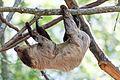 Sloth Crossing a Branch (19537181735).jpg