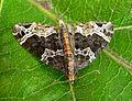 Small Phoenix. Ecliptopera silaceata. - Flickr - gailhampshire.jpg