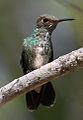 Small hummingbird on Petrea volubilis (9591296607).jpg